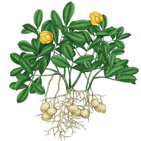 Las plantas leguminosas como el maní contienen bacterias que contribuyen en la fijación del nitrógeno en el suelo.